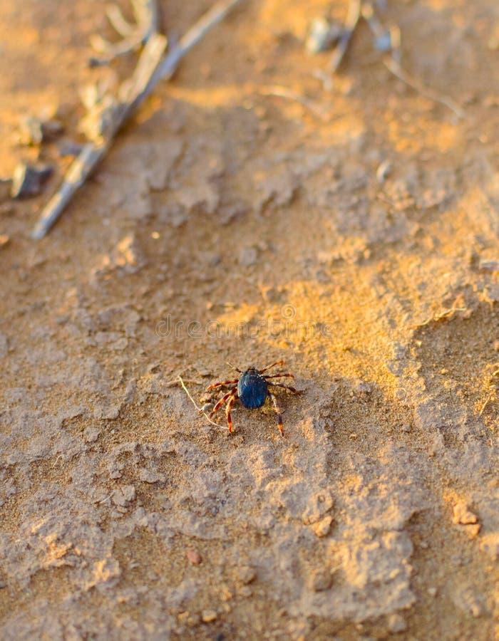 Тикание Hyalomma от конца семьи Ixodidae Опасная лепта паразита и несущей инфекции сидя на земле стоковые изображения