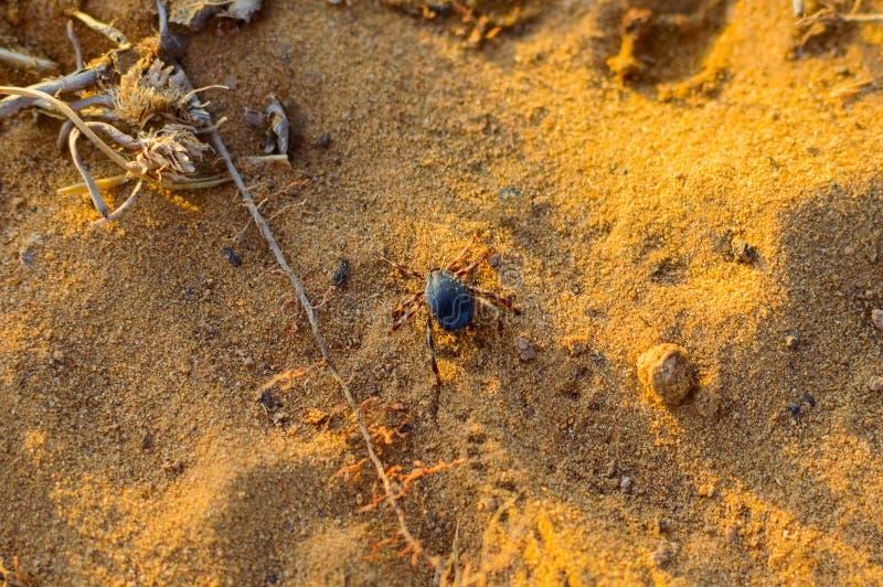 Тикание Hyalomma от конца семьи Ixodidae Опасная лепта паразита и несущей инфекции сидя на земле стоковые фото