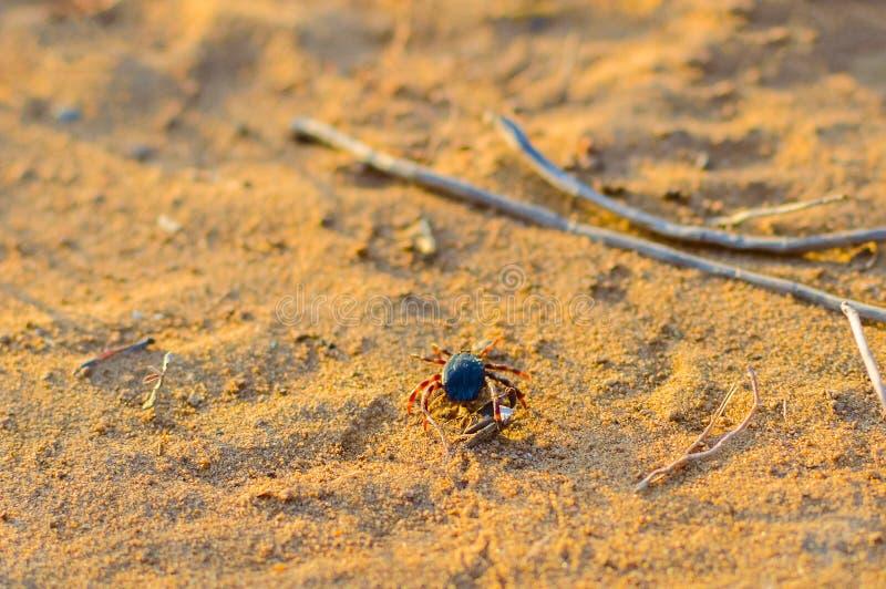 Тикание Hyalomma от конца семьи Ixodidae Опасная лепта паразита и несущей инфекции сидя на земле стоковое изображение rf