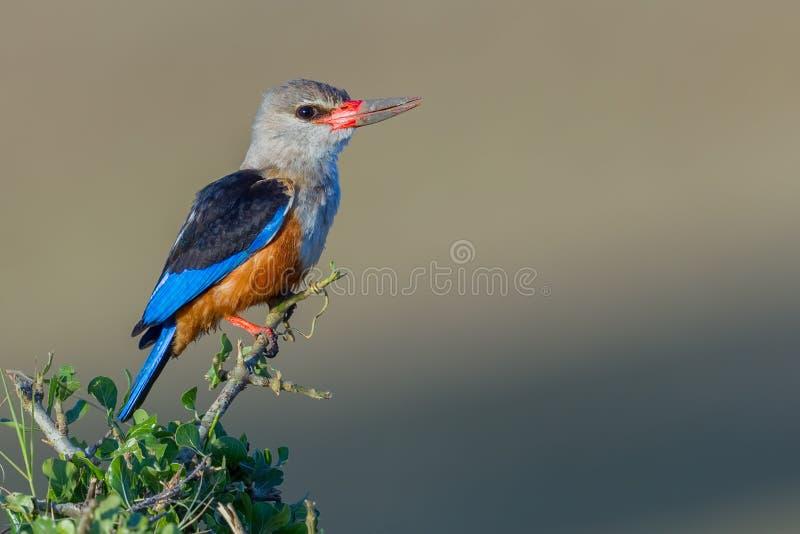 Тинный седовласый Kingfisher стоковое фото rf