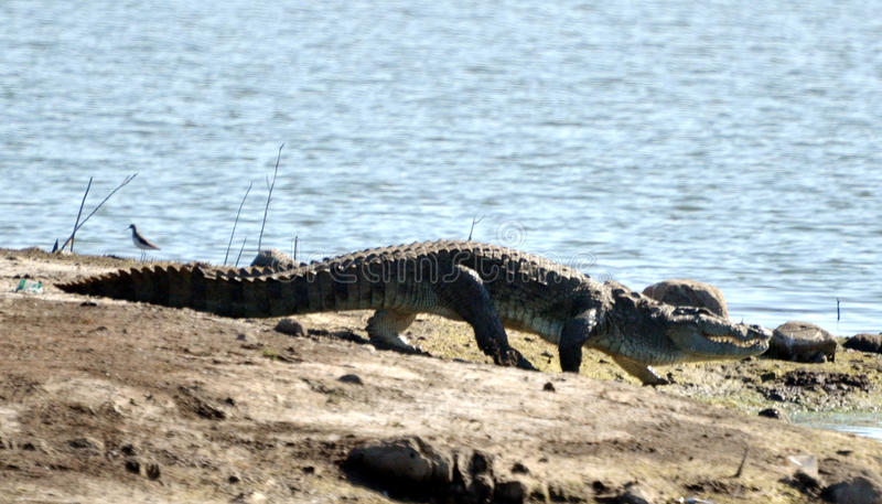 Типичная высокая прогулка крокодила стоковое фото rf