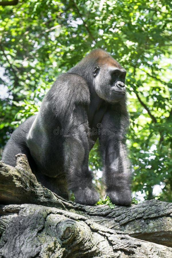 Типичная горилла западной низменности стоковые фото