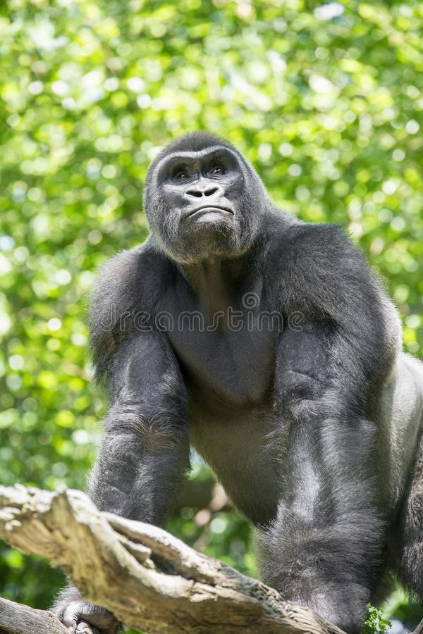 Типичная горилла западной низменности стоковое изображение rf