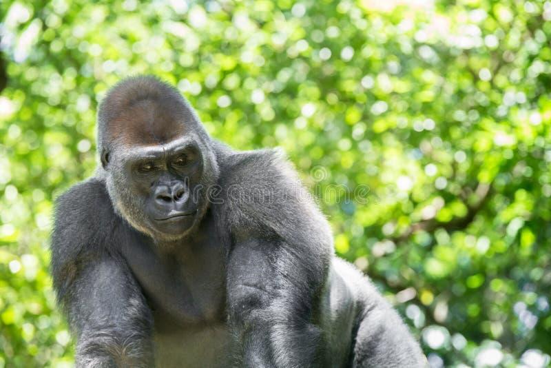 Типичная горилла западной низменности стоковая фотография