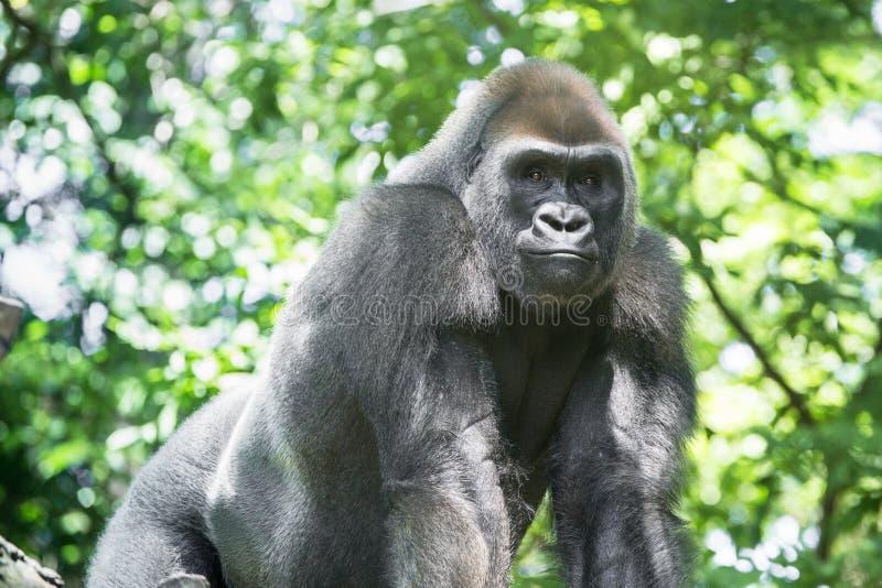 Типичная горилла западной низменности стоковое изображение