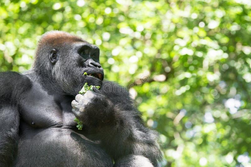 Типичная горилла западной низменности стоковые изображения rf