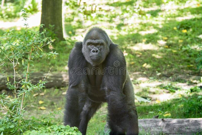 Типичная горилла западной низменности стоковые изображения