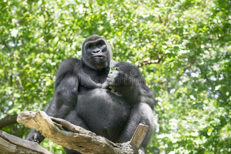 Типичная горилла западной низменности стоковое фото rf