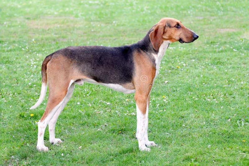 Типичная собака Scenthound Poitevin стоковая фотография rf