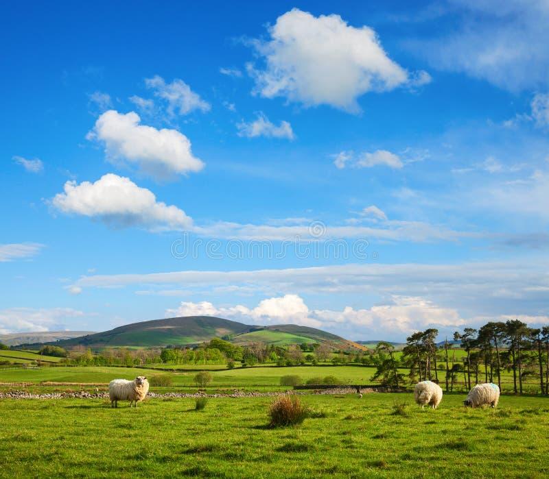 Типично английский ландшафт сельской местности с овцами pasturing на зеленой траве, национальном парке района озера, Cumbria, Анг стоковая фотография rf