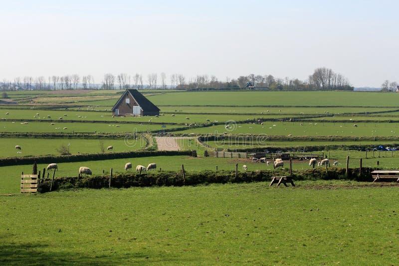Типичные луга на Texel, Нидерланд стоковая фотография rf