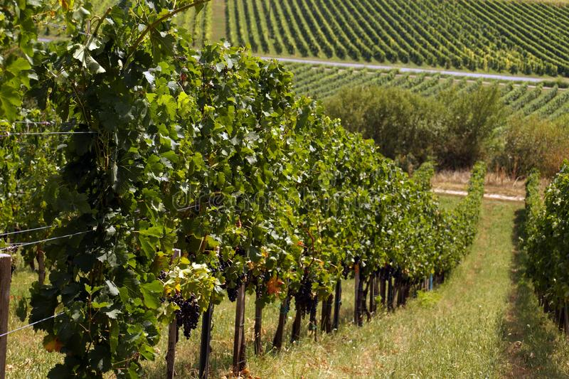 Типичный ландшафт Южной Европы Венгрия, виноградники в холмах Villany к югу города Pecs стоковое изображение