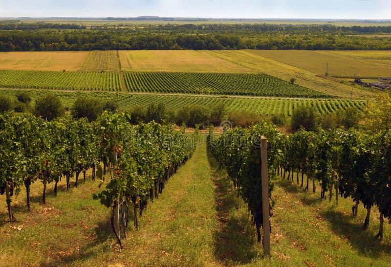 Типичный ландшафт Южной Европы Взгляд виноградников стоковое изображение rf