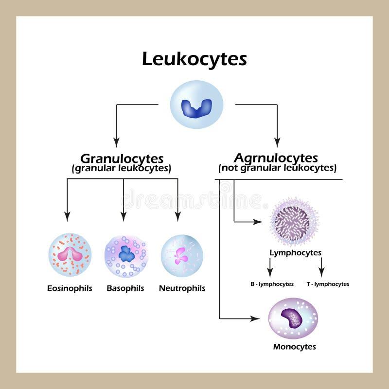 Типы лейкоцитов Инфографика также вектор иллюстрации притяжки corel иллюстрация штока