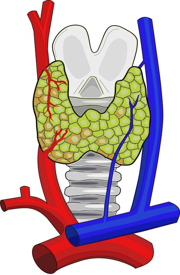 тиреоид железы анатомирования иллюстрация штока