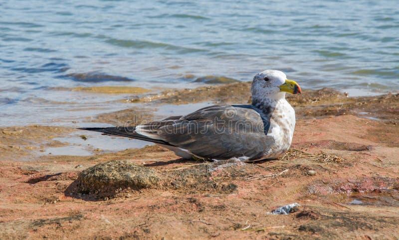 Тихая океан чайка стоковая фотография