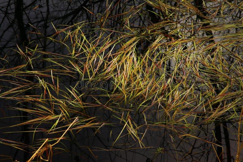Тихие океан северо-западные тростники леса и воды стоковое фото