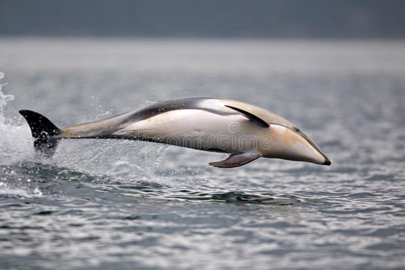 Тихий Океан бело-встало на сторону перескакивать дельфина стоковое изображение