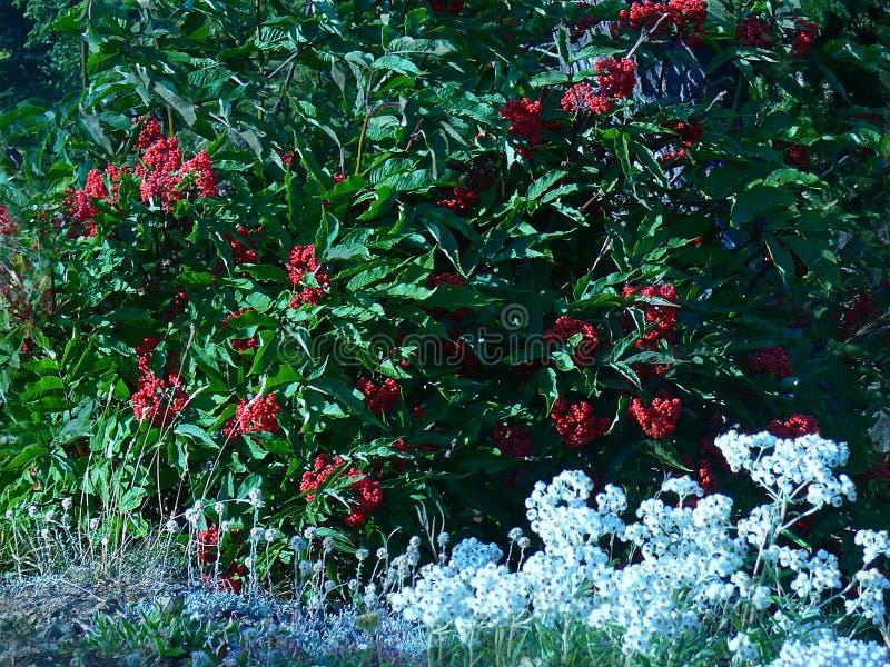 Тихий океан красный Elderberry и жемчужное вековечное стоковая фотография rf