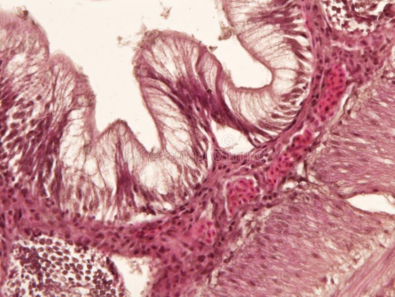Ткань кишечника животная под взглядом микроскопа стоковое изображение rf