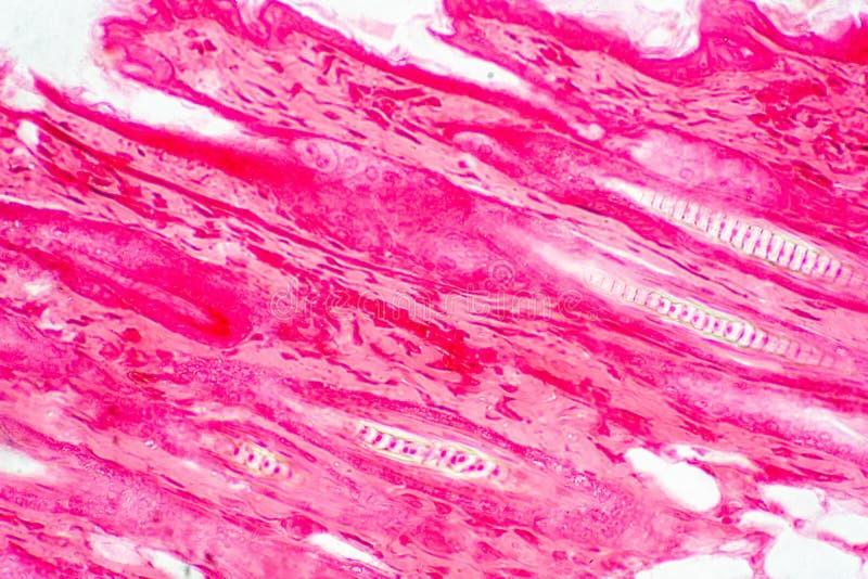 Ткань кожи поперечного сечения человеческая под взглядом микроскопа иллюстрация штока