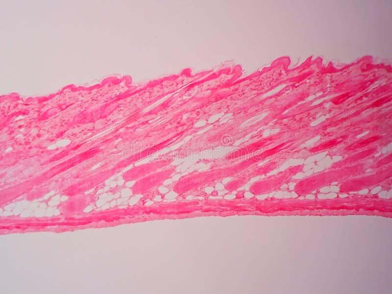 Ткань кожи поперечного сечения человеческая бесплатная иллюстрация