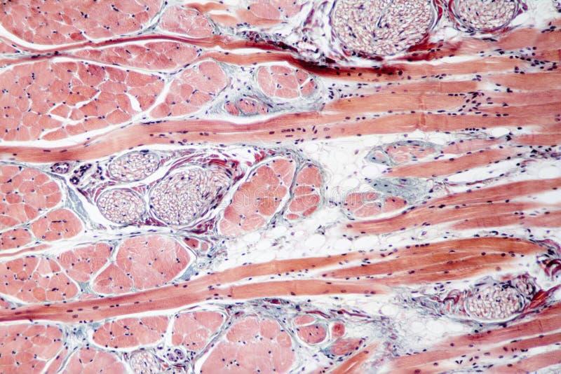 Ткань мышцы стоковые изображения rf