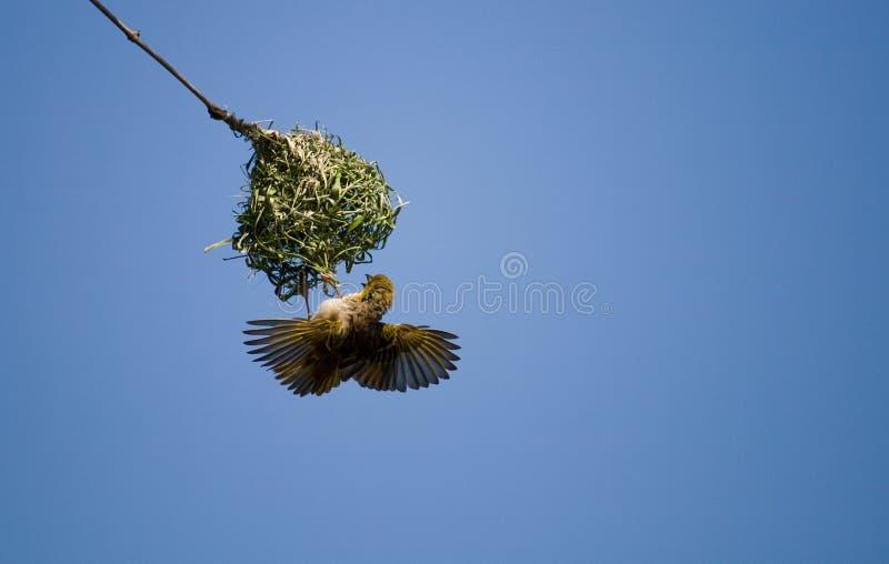 ткач дома здания птицы стоковые изображения rf