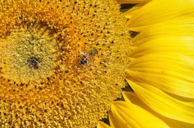 Товарищ солнцецветов стоковая фотография rf