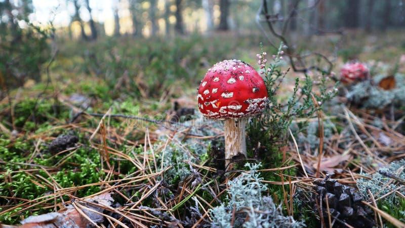 токсические пластинчатый гриб мухы гриба или muscaria мухомора в лесе осени стоковые фотографии rf
