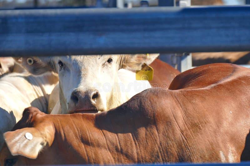 Толкотня Австралия скотин стоковая фотография rf