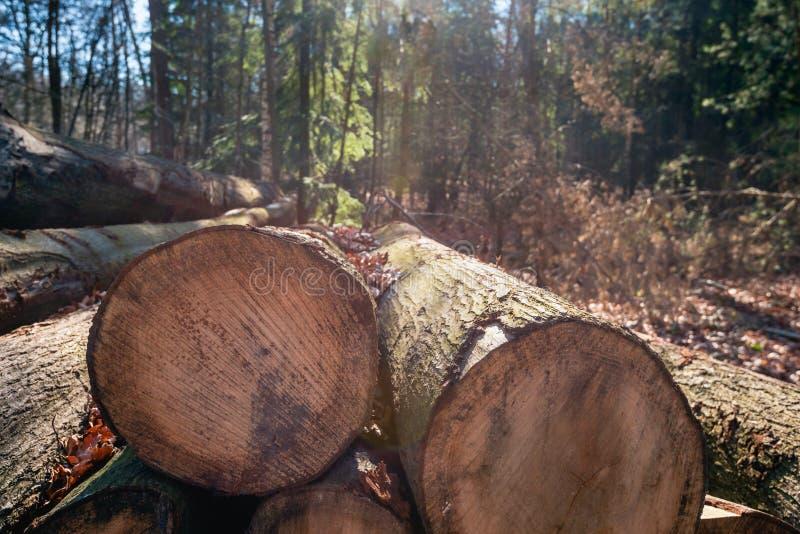 Толстые стволы дерева спилили на переднем плане стоковые изображения rf