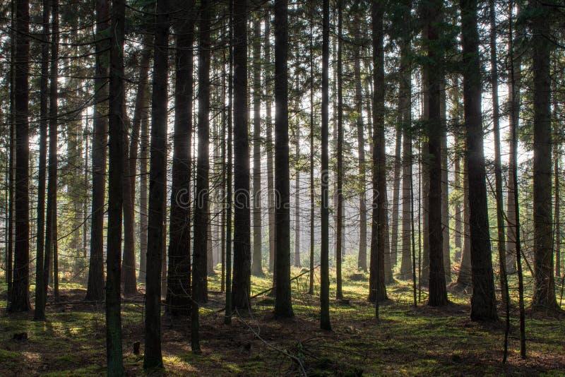 Толстый coniferous лес в осени Просвечивающие лучи солнца нежно падают на хоботы деревьев стоковые фото