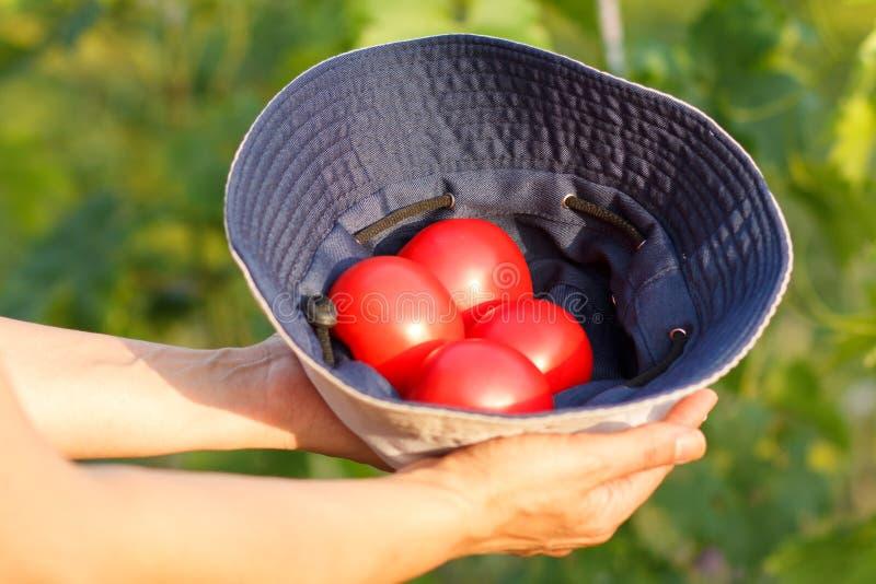 Томаты в руках фермера в естественной зеленой предпосылке стоковое изображение