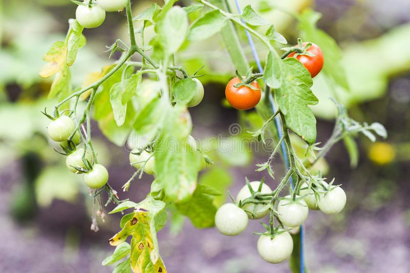 Томаты зацветая летом в саде стоковое фото