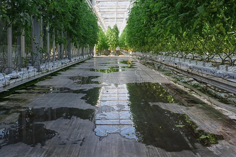 Томаты растя в большом парнике в Нидерландах стоковая фотография