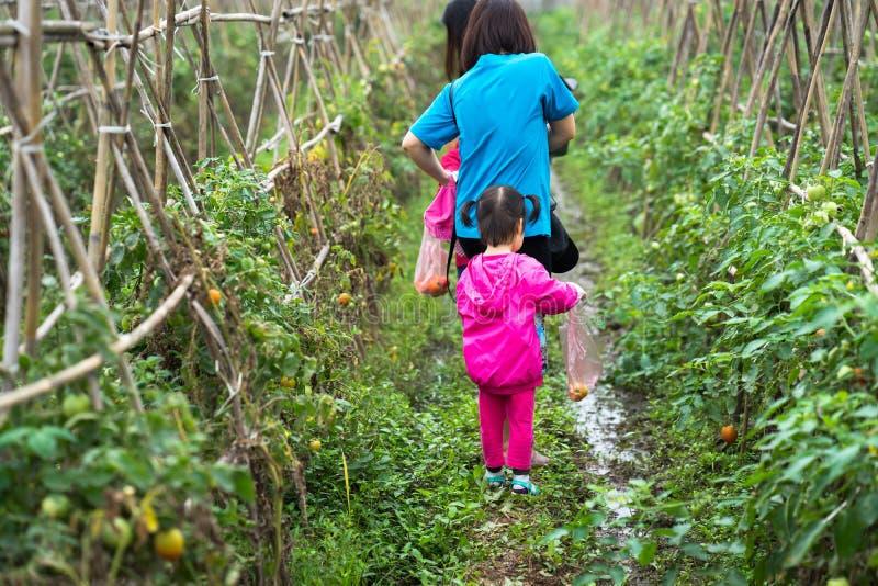 Томаты рудоразборки маленькой девочки с ее матерью в обрабатываемых землях field крупный план стоковые изображения rf