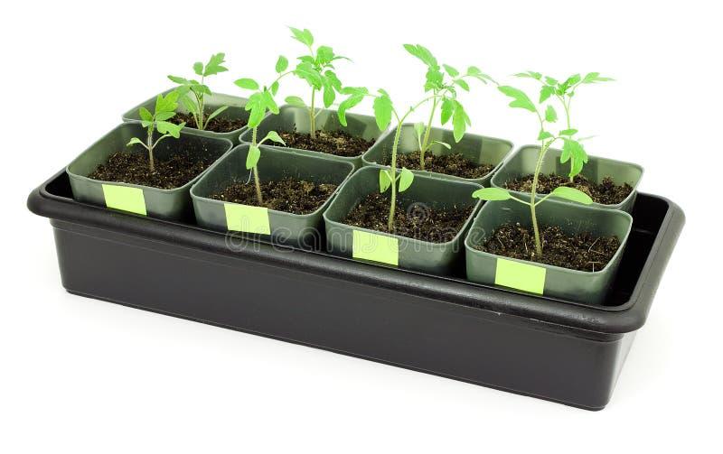 томаты сеянцев стоковая фотография