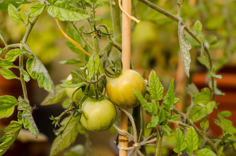 Download томат вишни зеленый стоковое фото. изображение насчитывающей еда - 41662276