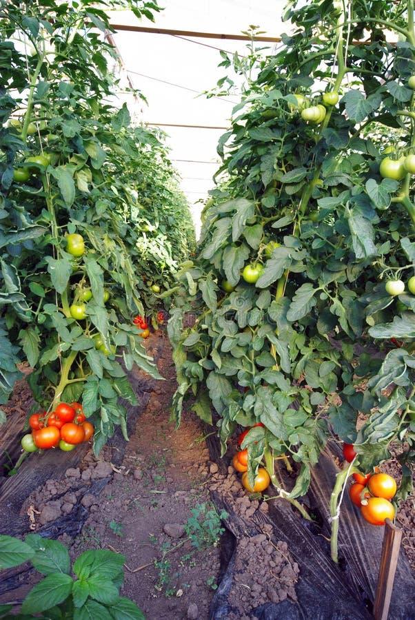 томат завода стоковое фото rf