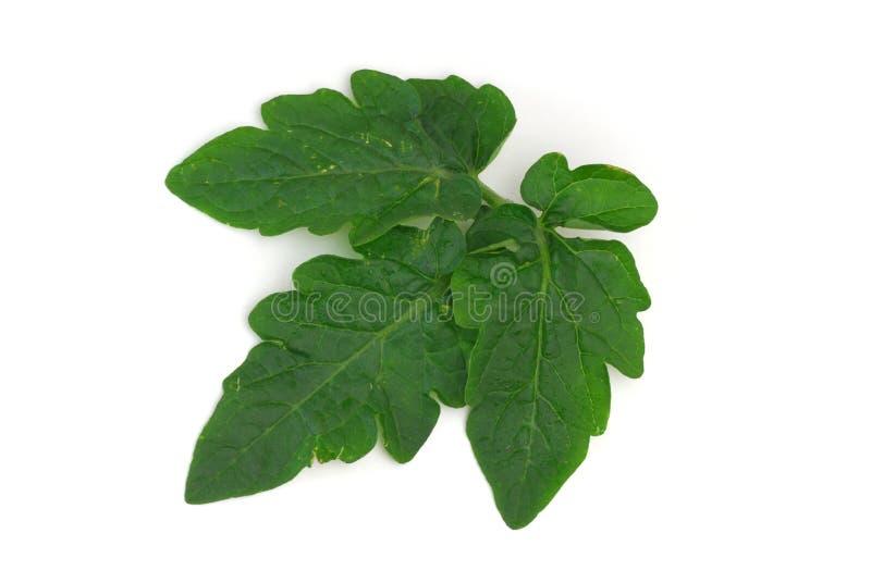 томат листьев стоковая фотография rf