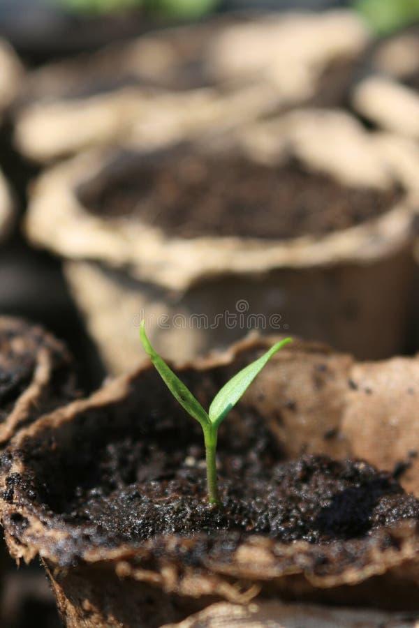 томат сеянцев стоковое фото rf