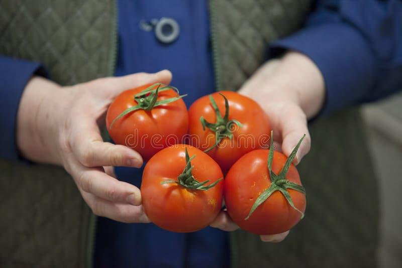 томат удерживания хуторянина свежий стоковое изображение rf