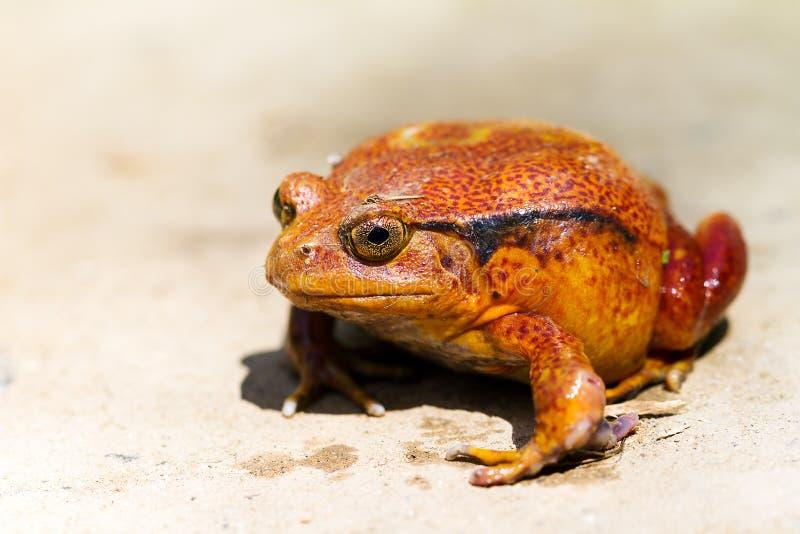 томат лягушки dicophus antongili латинский названный стоковая фотография rf