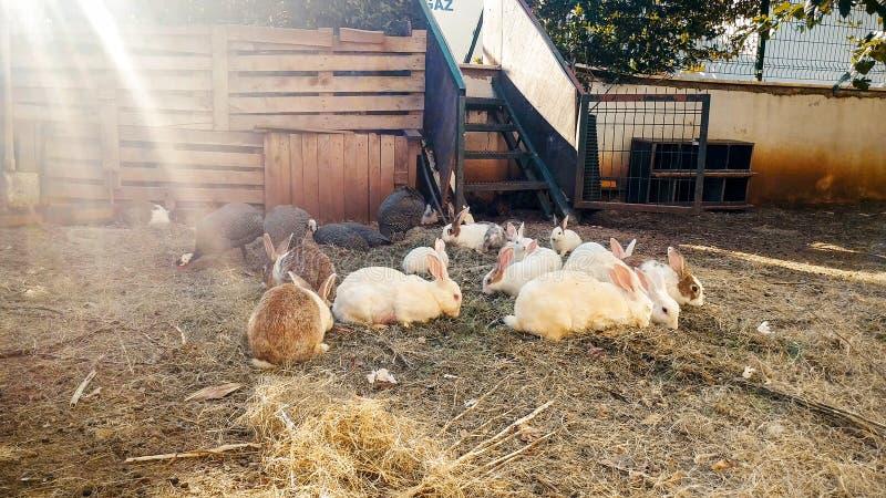 Тонизированное фото кроликов на сене на мелком крестьянском хозяйстве стоковые фотографии rf