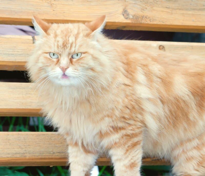 Тонизированный кот портрета деревенский красный стоковое изображение rf