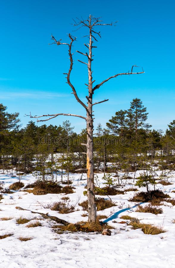 Тонкое дерево с ветвями на предпосылке голубого неба стоковые фотографии rf