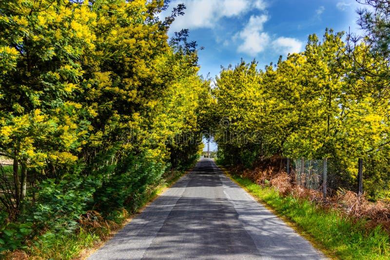 Тоннель дерева мимозы на пути Дорога растет мимоза и акация в b стоковые изображения rf