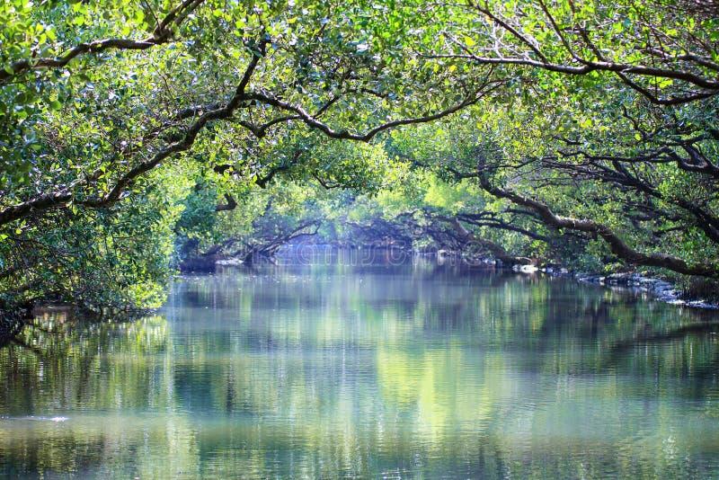 Тоннель зеленого цвета мангровы Sicao, Tainan, Тайвань стоковые изображения