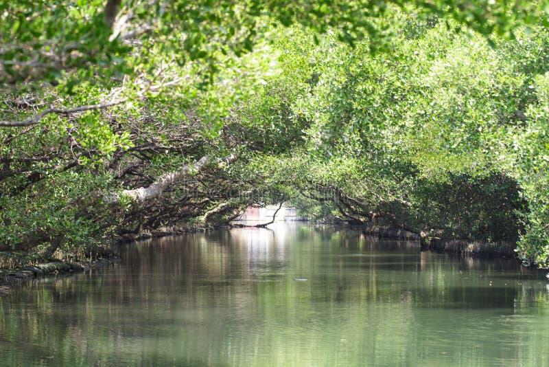 Тоннель зеленого цвета мангровы Sicao, Tainan, Тайвань стоковые фотографии rf